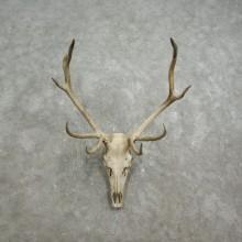 Rocky Mountain Elk Skull European Mount For Sale #17587 @ The Taxidermy Store
