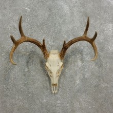 Whitetail Deer Skull European Mount For Sale #17591 @ The Taxidermy Store