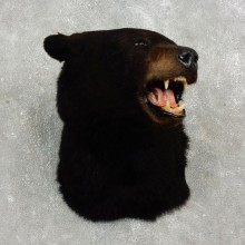 Black Bear Shoulder Taxidermy Head Mount For Sale #17747 @ The Taxidermy Store