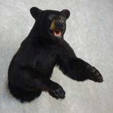 Black Bear 1/2-Life-Size Mount For Sale #17749 @ The Taxidermy Store