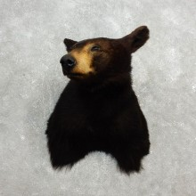 Black Bear Shoulder Taxidermy Head Mount For Sale #17750 @ The Taxidermy Store
