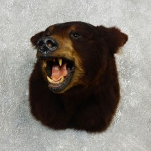 Black Bear Shoulder Taxidermy Head Mount For Sale #17753 @ The Taxidermy Store