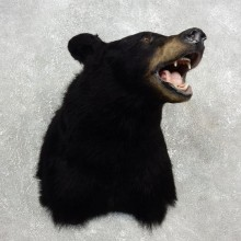 Black Bear Shoulder Taxidermy Head Mount For Sale #17754 @ The Taxidermy Store