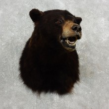 Black Bear Shoulder Taxidermy Head Mount For Sale #17755 @ The Taxidermy Store