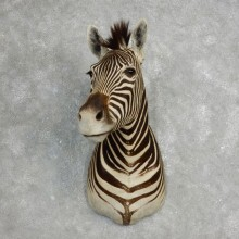 African Zebra Shoulder Mount For Sale #17761 @ The Taxidermy Store