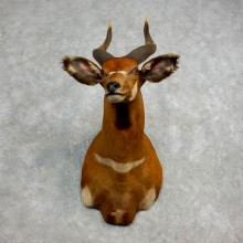Bongo Antelope Taxidermy Shoulder Mount For Sale #17798 @ The Taxidermy Store