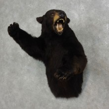 Black Bear 1/2-Life-Size Mount For Sale #17900 @ The Taxidermy Store