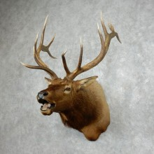 Rocky Mountain Elk Shoulder Mount For Sale #17987 @ The Taxidermy Store