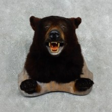 Black Bear Head Taxidermy Mount For Sale #17994 @ The Taxidermy Store
