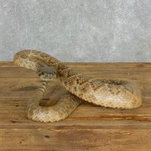 Western Diamondback Rattlesnake Mount For Sale #18015 @ The Taxidermy Store