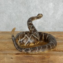 Eastern Diamondback Rattlesnake Mount For Sale #18017 @ The Taxidermy Store
