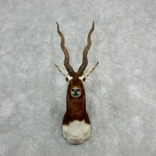 India Blackbuck Shoulder Mount For Sale #18078 @ The Taxidermy Store