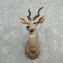 Lesser Kudu Taxidermy Mount For Sale #18079 @ The Taxidermy Store