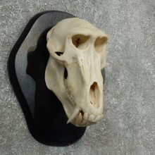 Chacma Baboon Skull Mount For Sale #18085 @ The Taxidermy Store
