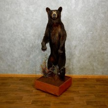Black Bear Life-Size Mount For Sale #18213 @ The Taxidermy Store
