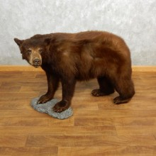 Cinnamon Black Bear Life-Size Mount For Sale #18214 @ The Taxidermy Store