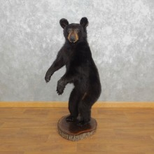 Black Bear Life-Size Mount For Sale #18314 @ The Taxidermy Store