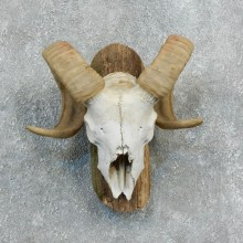 Corsican Ram Skull European Mount For Sale #18330 @ The Taxidermy Store