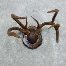 Whitetail Deer Antler Plaque Mount For Sale #18425  @ The Taxidermy Store