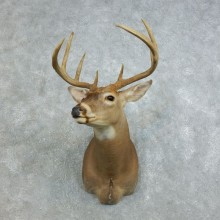 Whitetail Deer Shoulder Mount #18460 For Sale - The Taxidermy Store