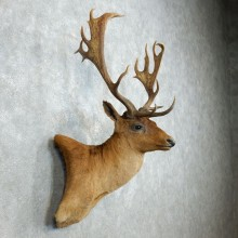 Fallow Deer Shoulder Mount For Sale #18536 @ The Taxidermy Store