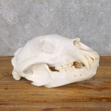 Inland Grizzly Bear Skull Mount For Sale #18756 @ The Taxidermy Store