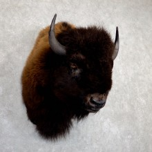 American Buffalo Shoulder Taxidermy Mount For Sale #19628 @ The Taxidermy Store