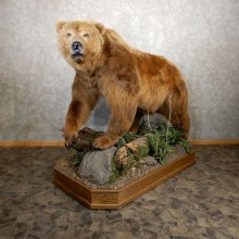Kodiak Brown Bear Life Size Taxidermy Mount For Sale #19913 @ The Taxidermy Store