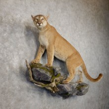 Mountain Lion Life-Size Mount For Sale #20414 @ The Taxidermy Store