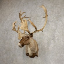 Caribou Shoulder Mount For Sale #20466 @ The Taxidermy Store