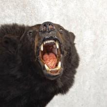 Black Bear Shoulder Mount For Sale #20786 @ The Taxidermy Store