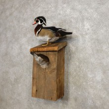 Wood Duck Taxidermy Bird Mount For Sale #21256 @ The Taxidermy Store