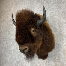 American Buffalo Shoulder Mount For Sale #21534 @ The Taxidermy Store