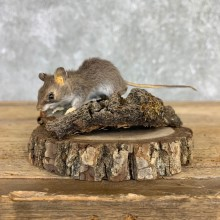 Mouse Life-Size Mount For Sale #21560 @ The Taxidermy Store