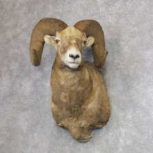 Montana Bighorn Sheep Shoulder Mount For Sale #21645 @ The Taxidermy Store