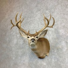 Mule Deer Shoulder Mount For Sale #21867 @ The Taxidermy Store
