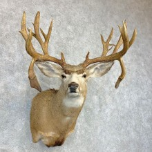 Mule Deer Shoulder Mount For Sale #22080 @ The Taxidermy Store