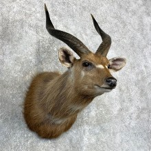 African Sitatunga Taxidermy Shoulder Mount For Sale