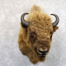 European Bison/Wisent Taxidermy Shoulder Mount For Sale