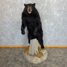 Black Bear Life-Size Mount For Sale #22332 @ The Taxidermy Store