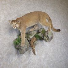 Mountain Lion Life-Size Mount For Sale #22577 @ The Taxidermy Store