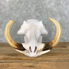 African Warthog Full Skull For Sale #23032 @ The Taxidermy Store