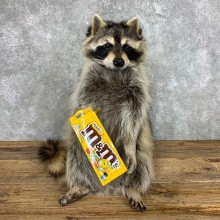 """""""M&M"""" Raccoon Mount For Sale #23058 @ The Taxidermy Store"""