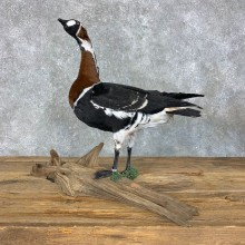 Red Breasted Goose Bird Mount For Sale #23450 @ The Taxidermy Store