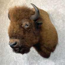 American Buffalo Shoulder Taxidermy Mount For Sale #23759 @ The Taxidermy Store
