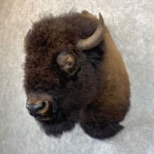 American Bison Shoulder Mount For Sale #23940 @ The Taxidermy Store