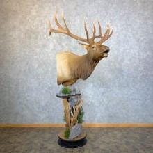 Rocky Mountain Elk Pedestal Mount For Sale #23954 @ The Taxidermy Store