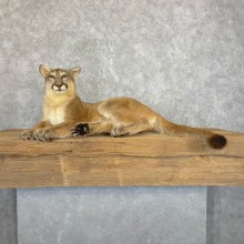 Mountain Lion Life-Size Mount For Sale #24131 @ The Taxidermy Store