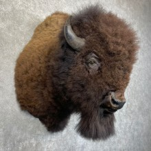 American Bison Shoulder Mount For Sale #24225 @ The Taxidermy Store