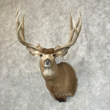 Mule Deer Shoulder Mount For Sale #24586 @ The Taxidermy Store
